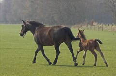 horse and filly (Wikipedia Commons)